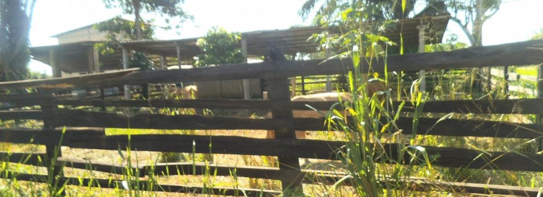 Allevamento di mucche a Boundji o Makoua 3