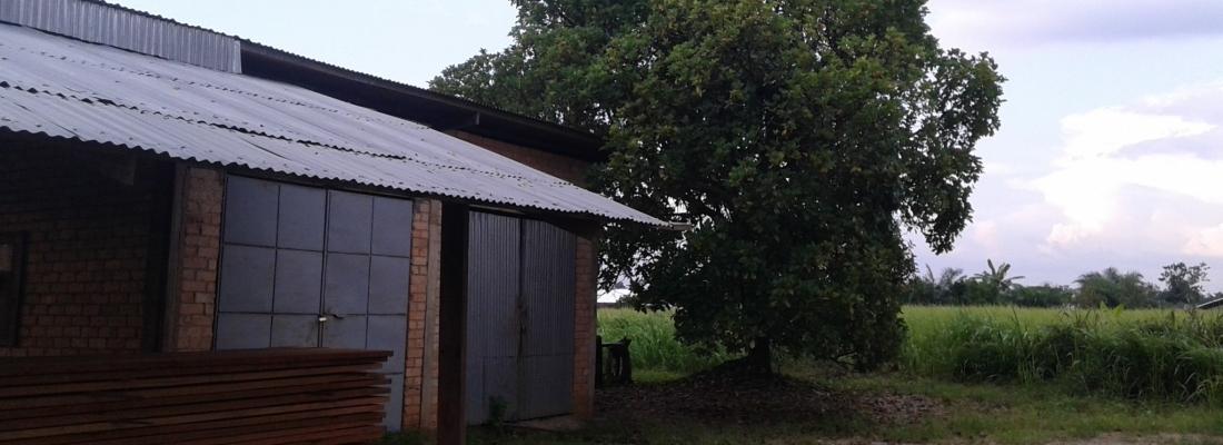 Allevamento di mucche a Boundji o Makoua